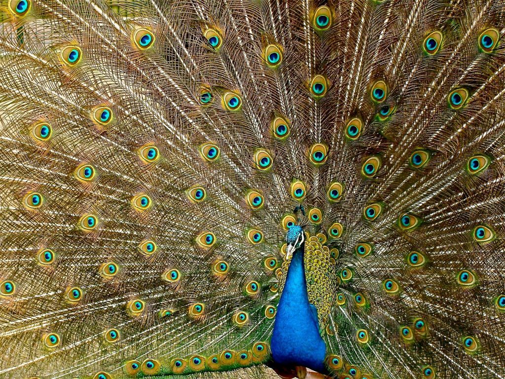 Patterns as eyes on peacock